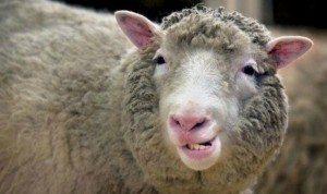 La oveja Dolly hace una mueca